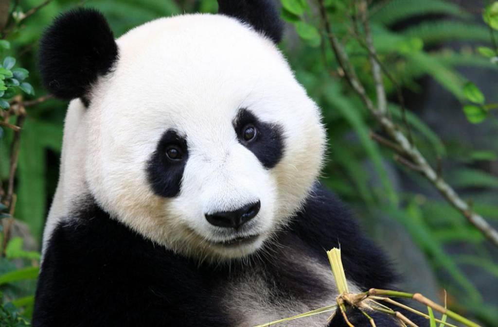 Panda's komen naar Nederland!