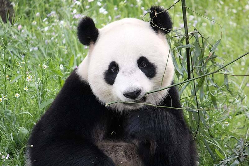 Panda's Wu Wen en Xing Ya te zien in Ouwehands Dierenpark!