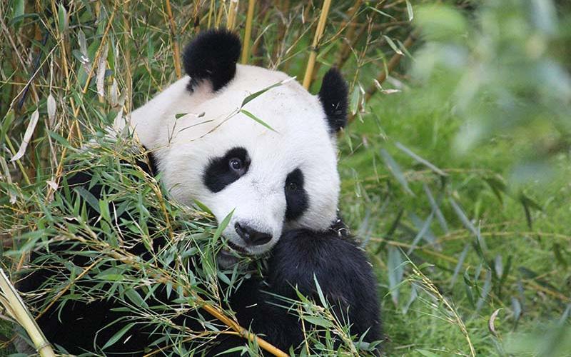 Aandacht voor de reuzenpanda op Internationale Pandadag