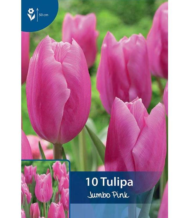 Tulip Jumbo Pink