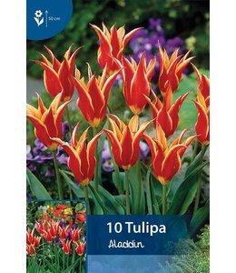 Tulip Aladdin