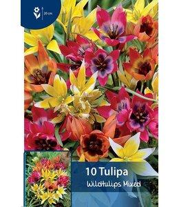Tulp Wildtulpen