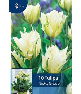 Tulpen Exotic Emperor