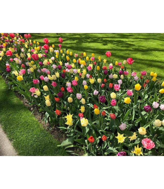Tulpen Gemischt