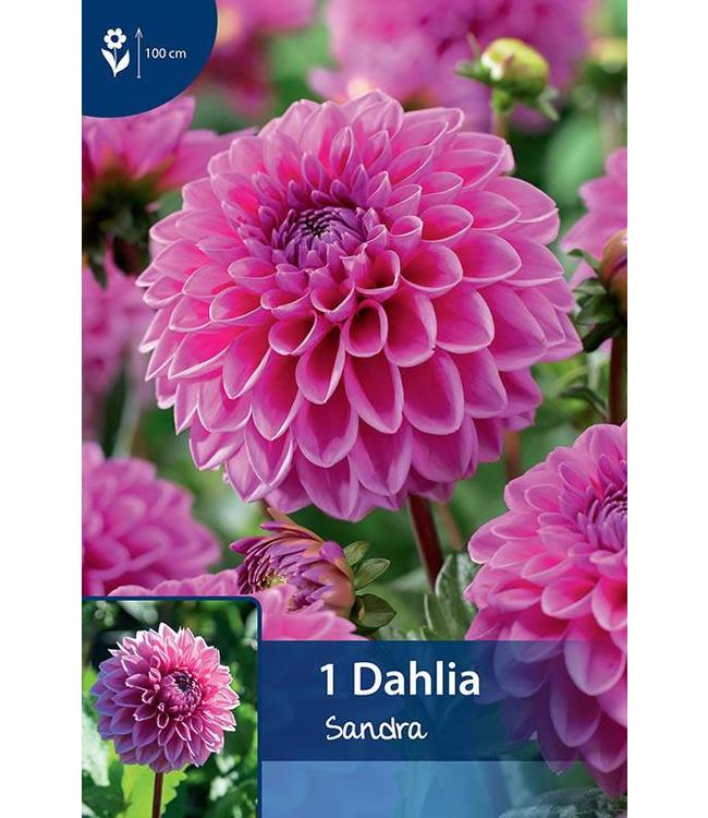 Dahlia Sandra