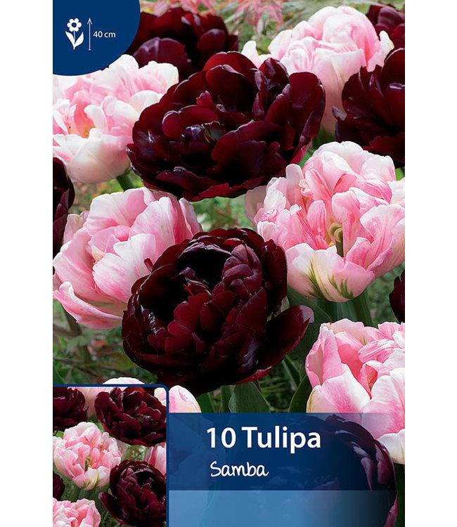 Tulip Samba