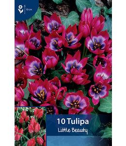 Tulp Little Beauty