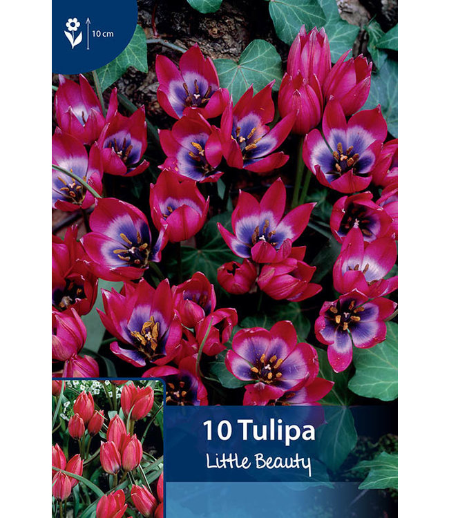 Tulpen Little Beauty