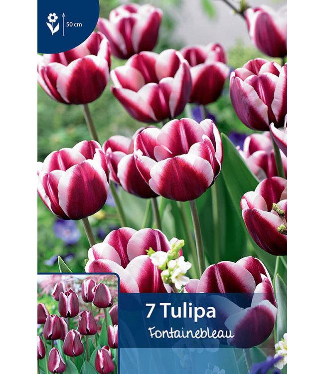 Tulp Fontainebleau
