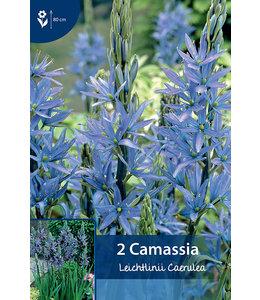 Camassia Leichtlinii Caerulea