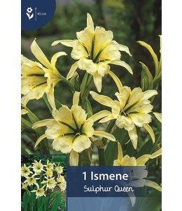 Ismene Sulphur Queen(Hymenocallis)