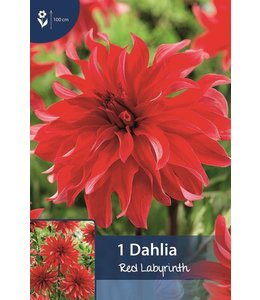 Dahlia Red Labyrinth