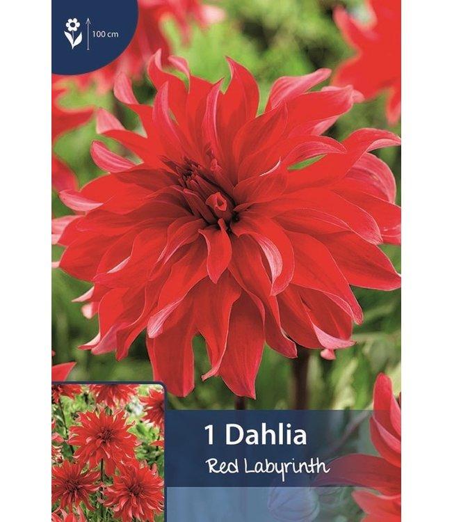 Dahlia Red Labyrinth