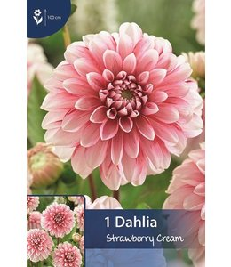 Dahlia Strawberry Cream