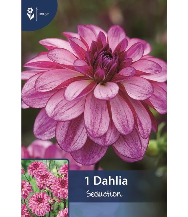 Dahlia Seduction