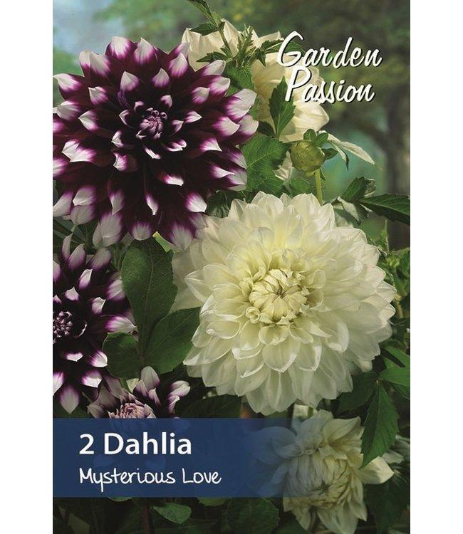 Dahlia Mysterious Love