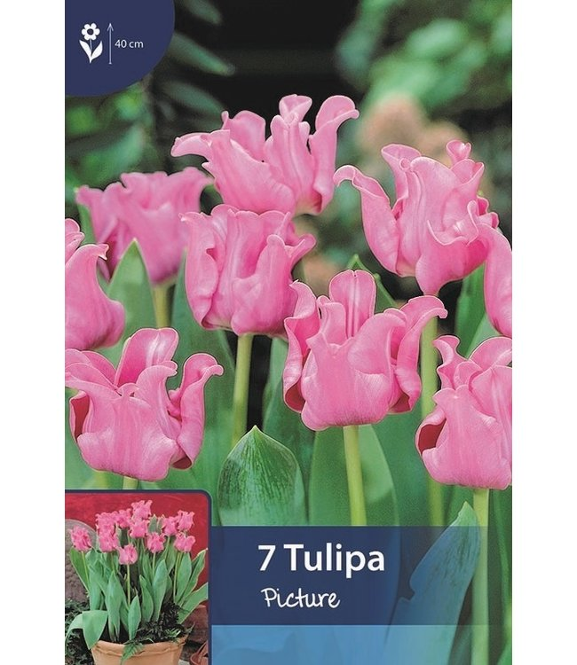 Tulp Picture