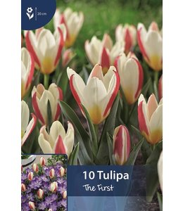 Tulip The First