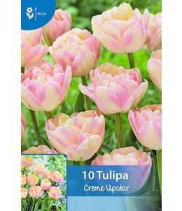 Tulpen Creme Upstar