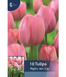 Tulip Mystic van Eijk
