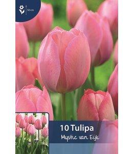 Tulpen Mystic van Eijk
