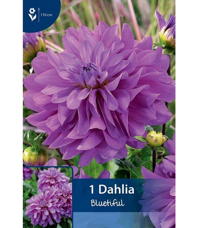 Dahlia Bluetiful
