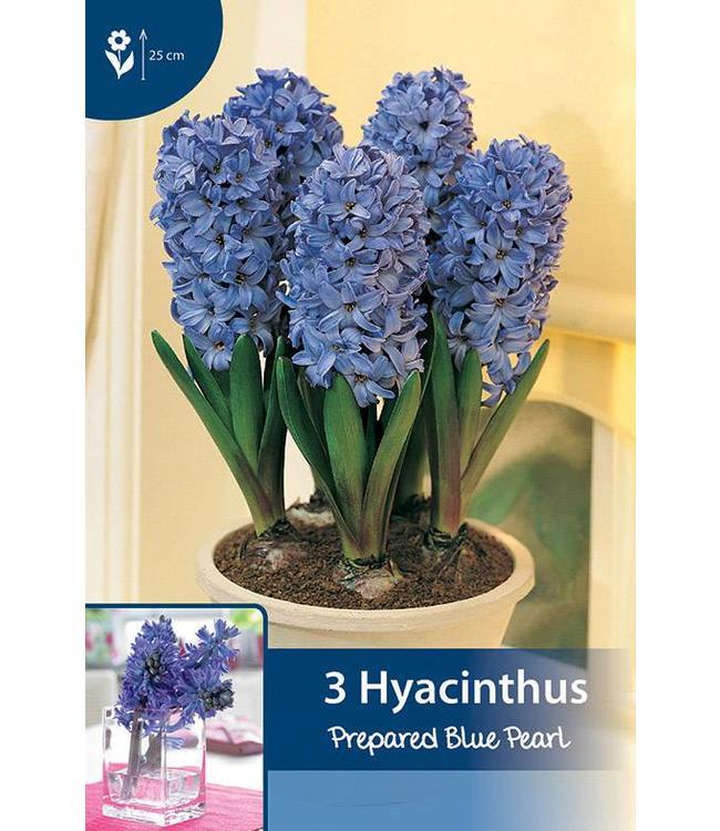 Hyazinthen präpariert Blue Pearl (für im Haus)