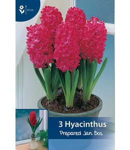 Prepared hyacinth Jan Bos (for indoor flowering)