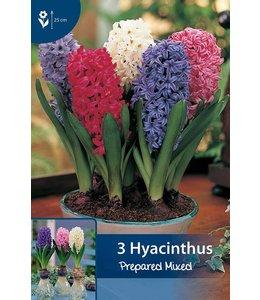 Hyacinthus Gemengd (geprepareerd voor op pot in huis)