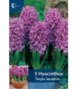 Hyazinthen Purple Sensation
