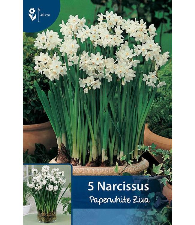 Narcissus Paperwhite Ziva (for indoor)