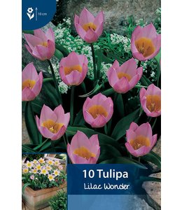 Tulp Lilac Wonder