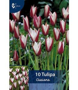 Tulp Clusiana