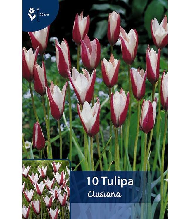 Tulip Clusiana