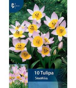 Tulip Saxatilis