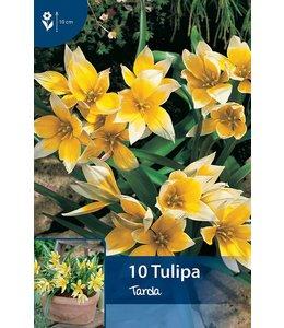 Tulpen Tarda