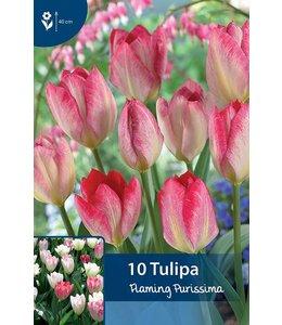 Tulpen Flaming Purissima
