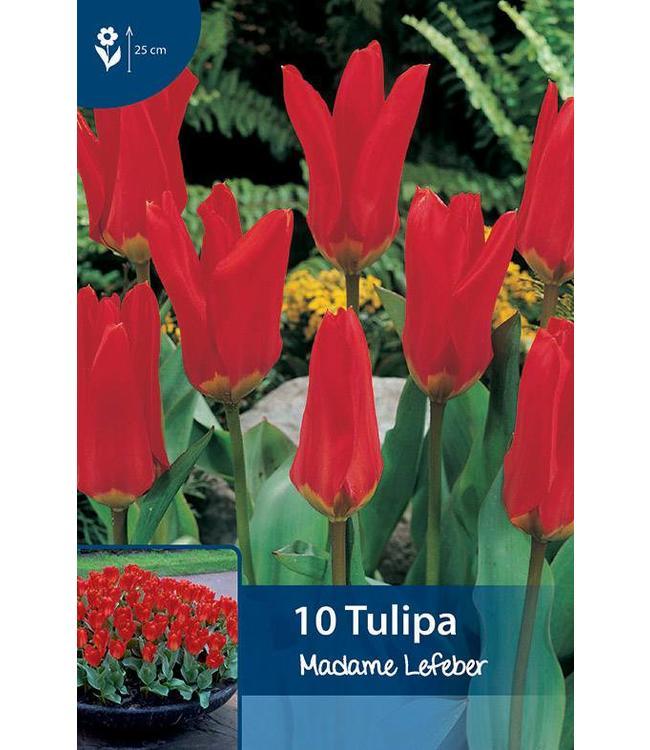 Tulpen Madame Lefeber