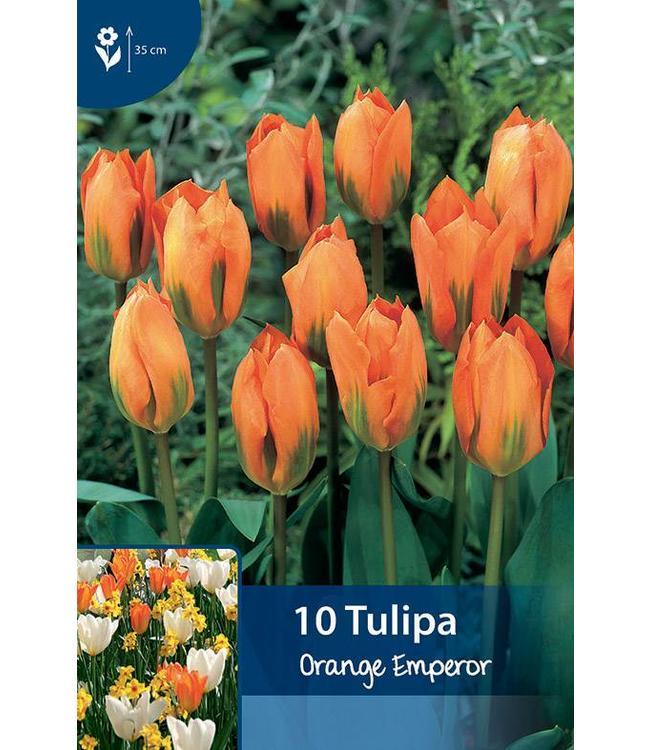 Tulip Orange Emperor