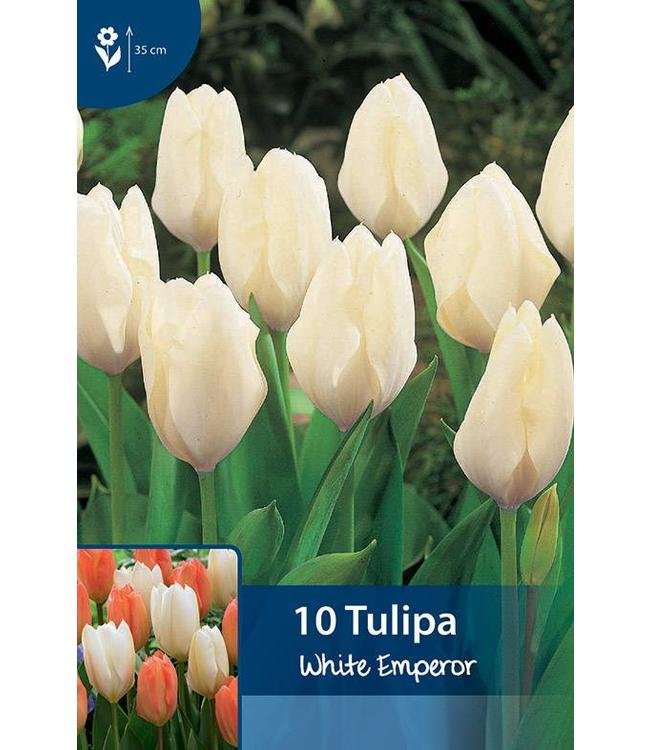 Tulpen White Emperor