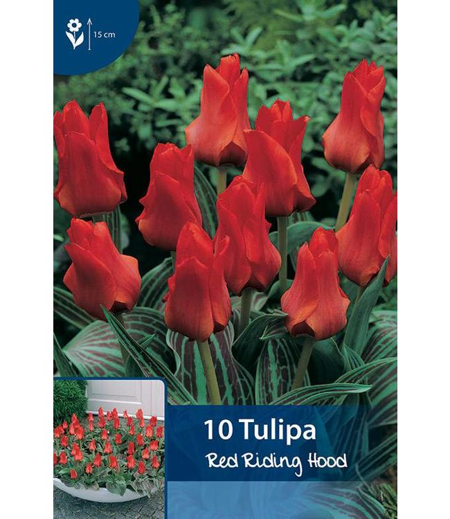 Tulip Red Riding Hood