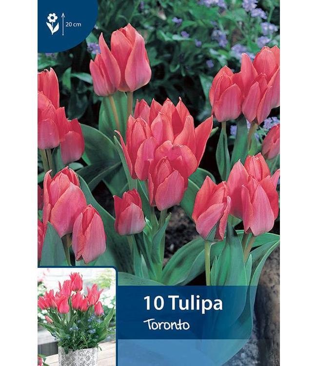 Tulpen Toronto