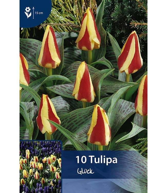 Tulip Glück