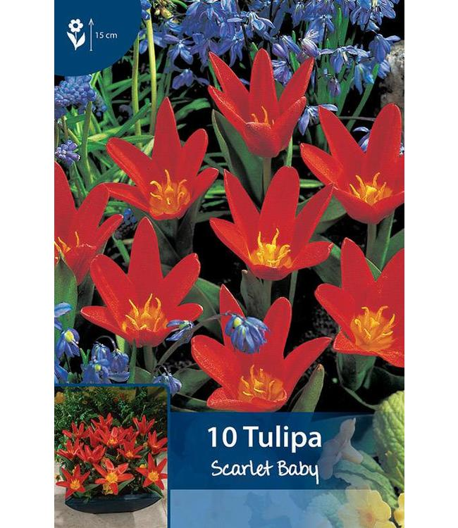 Tulp Scarlet Baby
