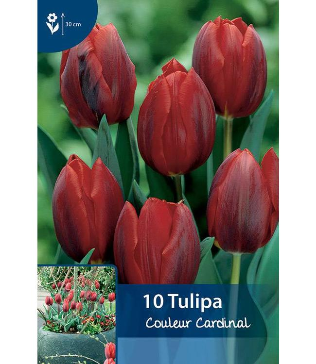 Tulpen Couleur Cardinal