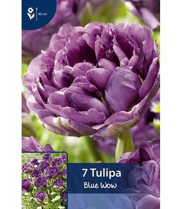 Tulip Blue Wow