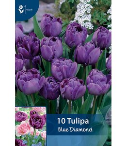 Tulpen Blue Diamond