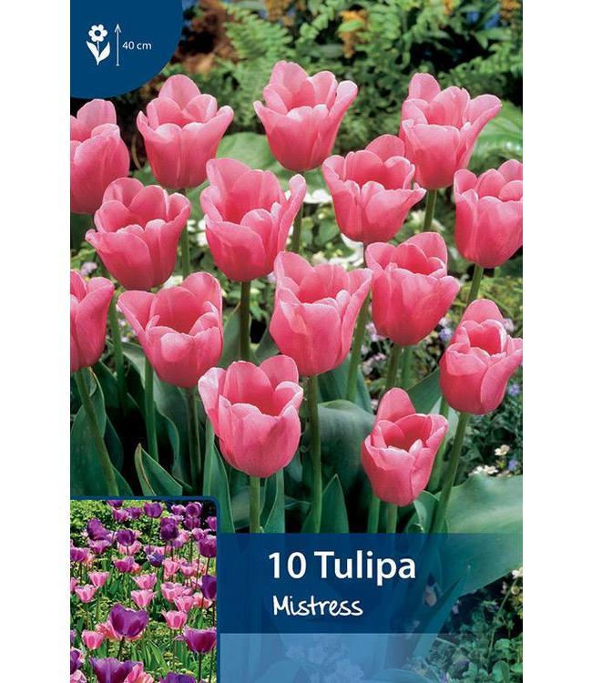 Tulip Mistress