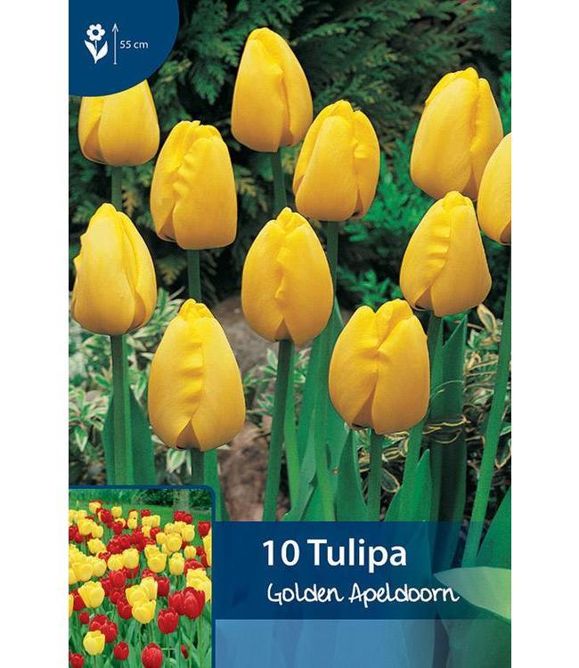 Tulpen Golden Apeldoorn