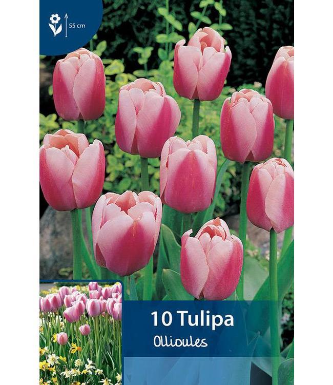 Tulp Ollioules